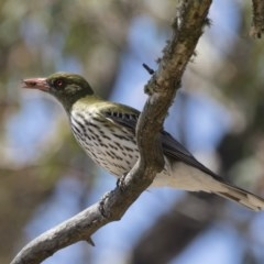 Oriolus sagittatus (Olive-backed Oriole) at Illilanga & Baroona - 10 Nov 2018 by Illilanga