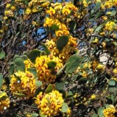 Daviesia mimosoides subsp. acris (Blunt-Leaf Bitter-Pea) at Namadgi National Park - 7 Nov 2018 by KenT