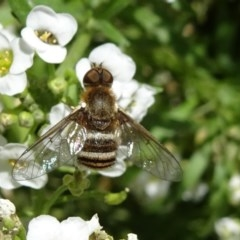 Villa sp. (genus) (Unidentified Villa bee fly) at National Arboretum Forests - 11 Nov 2018 by JanetRussell