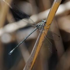 Austroargiolestes icteromelas (Common Flatwing) at Rendezvous Creek, ACT - 12 Nov 2018 by KenT