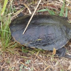 Chelodina longicollis (Eastern Long-neck Turtle) at Yerrabi Pond - 13 Nov 2018 by Christine