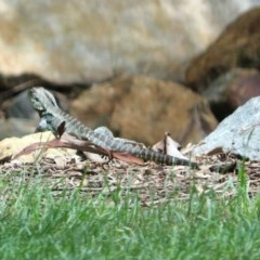 Intellagama lesueurii (Australian Water Dragon) at Molonglo Valley, ACT - 13 Nov 2018 by RodDeb