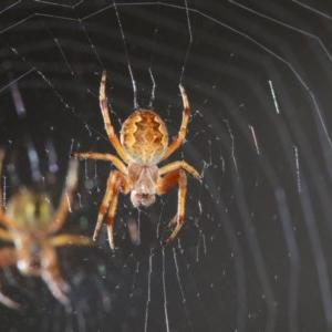 Cyclosa fuliginata (species-group) at Ainslie, ACT - 13 Nov 2018