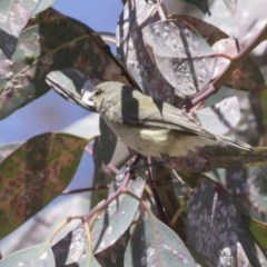 Smicrornis brevirostris (Weebill) at Bruce, ACT - 11 Nov 2018 by Alison Milton