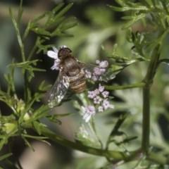 Villa sp. (genus) (Unidentified Villa bee fly) at Higgins, ACT - 10 Nov 2018 by Alison Milton