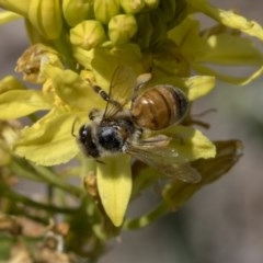 Apis mellifera (European honey bee) at Higgins, ACT - 10 Nov 2018 by Alison Milton