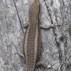 Carlia tetradactyla at Michelago, NSW - 10 Nov 2018