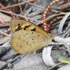 Heteronympha merope (Common Brown) at Mount Taylor - 15 Nov 2018 by MatthewFrawley