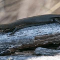Pseudemoia entrecasteauxii (Woodland Tussock-skink) at Namadgi National Park - 31 Oct 2018 by SWishart