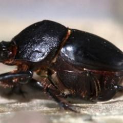 Onthophagus declivis at Ainslie, ACT - 14 Nov 2018