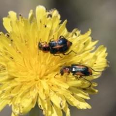 Dicranolaius villosus (Melyrid flower beetle) at Dunlop, ACT - 14 Nov 2018 by Alison Milton