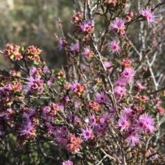 Kunzea parvifolia (Violet kunzea) at Black Mountain - 15 Nov 2018 by RWPurdie