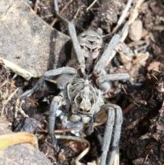 Tasmanicosa godeffroyi (Garden Wolf Spider) at Farrer, ACT - 15 Nov 2018 by jbromilow50