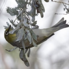 Zosterops lateralis (Silvereye) at Woodstock Nature Reserve - 15 Nov 2018 by Alison Milton