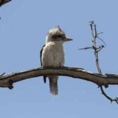 Dacelo novaeguineae (Laughing Kookaburra) at Woodstock Nature Reserve - 15 Nov 2018 by Alison Milton