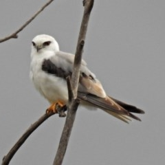 Elanus axillaris (Black-shouldered Kite) at Jerrabomberra Wetlands - 15 Nov 2018 by RodDeb