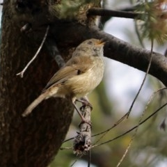 Acanthiza pusilla (Brown Thornbill) at Jerrabomberra Wetlands - 15 Nov 2018 by RodDeb