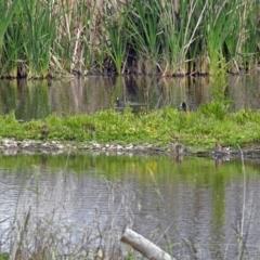 Gallinago hardwickii at Jerrabomberra Wetlands - 15 Nov 2018