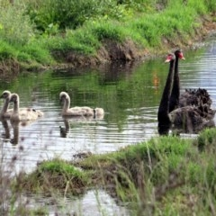 Cygnus atratus (Black Swan) at Jerrabomberra Wetlands - 15 Nov 2018 by RodDeb