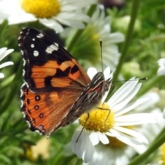 Vanessa kershawi (Australian Painted Lady) at ANBG - 16 Nov 2018 by RodDeb