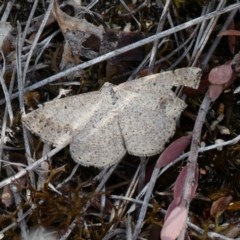 Taxeotis intextata (Looper Moth, Grey Taxeotis) at Theodore, ACT - 16 Nov 2018 by Owen