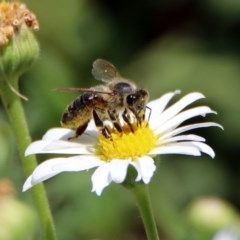 Apis mellifera (European honey bee) at ANBG - 16 Nov 2018 by RodDeb
