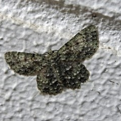 Hypodoxa muscosaria at ANBG - 16 Nov 2018