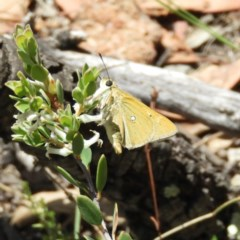 Trapezites luteus (Yellow Ochre, Rare White-spot Skipper) at Mount Taylor - 15 Nov 2018 by MatthewFrawley
