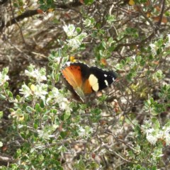 Vanessa itea (Yellow Admiral) at Mount Taylor - 15 Nov 2018 by MatthewFrawley