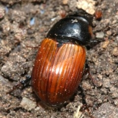 Aphodius fimentarius (Fimentarius dung beetle) at Ainslie, ACT - 16 Nov 2018 by jbromilow50
