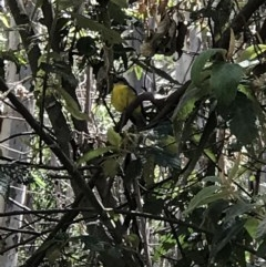 Eopsaltria australis (Eastern Yellow Robin) at Tidbinbilla Nature Reserve - 15 Nov 2018 by Rich Forshaw