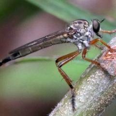 Cerdistus sp. (genus) at Ainslie, ACT - 16 Nov 2018
