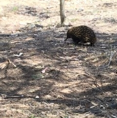 Tachyglossus aculeatus (Short-beaked Echidna) at Red Hill Nature Reserve - 17 Nov 2018 by KL