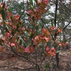 Dodonaea viscosa subsp. spatulata (Broad-leaved Hop Bush) at Deakin, ACT - 17 Nov 2018 by KL