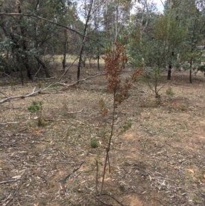 Dodonaea viscosa subsp. spatulata at Deakin, ACT - 17 Nov 2018
