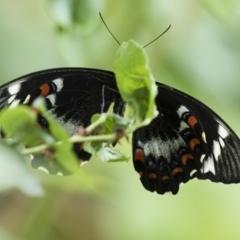 Papilio aegeus at Michelago, NSW - 13 Nov 2018