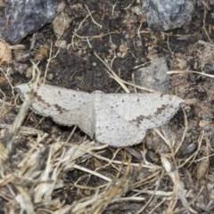 Taxeotis intextata (Looper Moth, Grey Taxeotis) at Dunlop, ACT - 15 Nov 2018 by Alison Milton