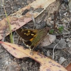Trapezites phigalioides (Montane Ochre) at Mount Taylor - 16 Nov 2018 by MatthewFrawley