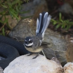 Rhipidura fuliginosa (Grey Fantail) at Illilanga & Baroona - 1 Apr 2018 by Illilanga
