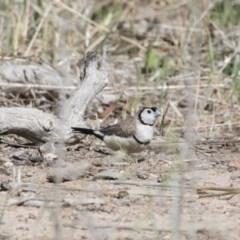 Taeniopygia bichenovii (Double-barred Finch) at Michelago, NSW - 8 Nov 2018 by Illilanga