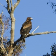 Aquila audax (Wedge-tailed Eagle) at Illilanga & Baroona - 24 Jun 2012 by Illilanga