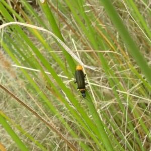Chauliognathus lugubris at Sth Tablelands Ecosystem Park - 11 Jan 2018