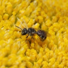 Lasioglossum (Chilalictus) sp. (genus & subgenus) (Halictid bee) at ANBG - 12 Nov 2018 by TimL