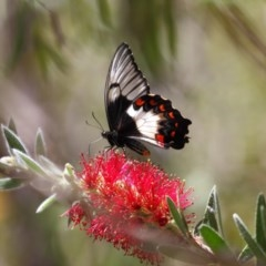 Papilio aegeus (Orchard Swallowtail) at ANBG - 12 Nov 2018 by TimL