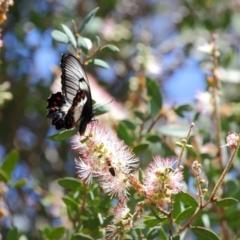 Papilio aegeus at ANBG - 12 Nov 2018