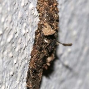 Cebysa leucotelus at Ainslie, ACT - 17 Nov 2018