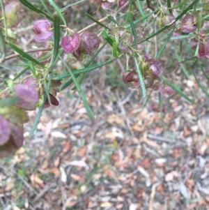 Dodonaea viscosa subsp. angustissima at Deakin, ACT - 18 Nov 2018