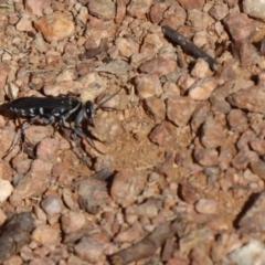 Turneromyia sp. (genus) at Jerrabomberra Wetlands - 16 Nov 2018
