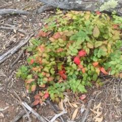 Berberis aquifolium (Oregon grape) at Mount Ainslie - 2 Nov 2018 by WalterEgo
