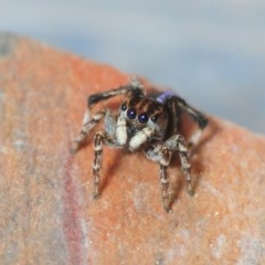 Maratus chrysomelas (Variable Peacock Spider) at Sth Tablelands Ecosystem Park - 29 Sep 2018 by Harrisi